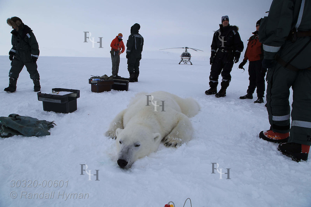 Scientists prepare to collect data and samples from sedated six-year-old male polar bear in Wahlenbergfjorden at Nordaustlandet, Svalbard, Norway.