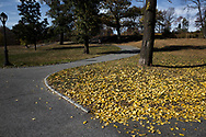 Ginkgo leaves providing autumn color in Central Park, New York City