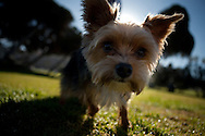 A dog gets a walk at Scripps Park in La Jolla, California on December 17.