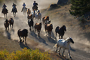 Horses being herded to their evening corral in West Yellowstone, MT.