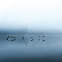 Canada geese flying low over foggy waters.