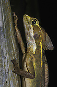 Banded or Brown Basilisk (Basiliscus vittatus)<br /> Punta Gorda<br /> Belize,<br /> Central America<br /> Range: Mexico, Central America, Colombia