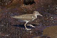 Spotted Sandpiper photos