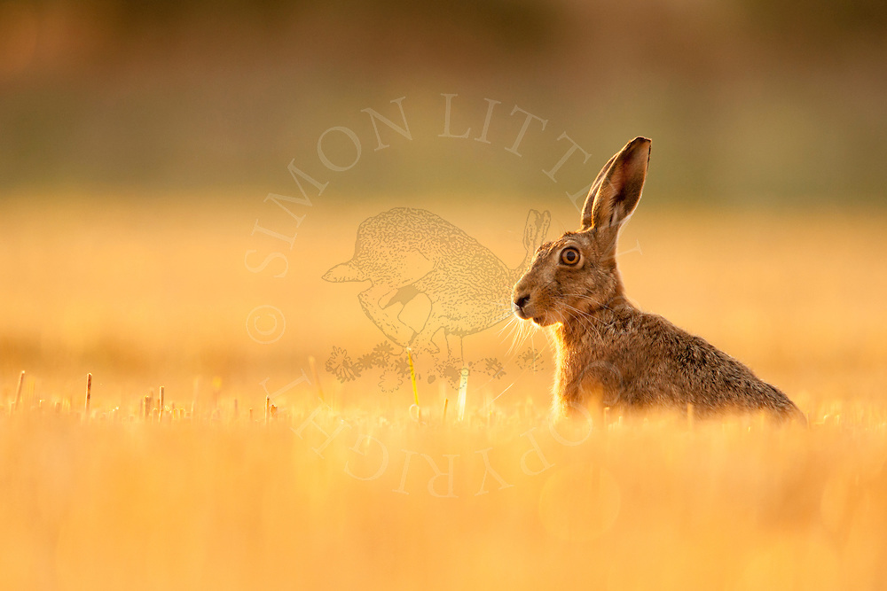 European Hare (Lepus europaeus) adult in barley stubble, Norfolk, UK.