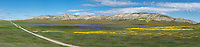 Panorama of a dirt road leading through orange Common Fiddleneck, blue Great Valley Phacelia and yellow Goldfields below the Temblor Range in the Carrizo Plains National Monument, California