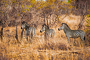 3 Zebra in beautiful, fiery-colored brush in Zambia . *50% of the proceeds from this image will go to Conservation  the South Luangwa , which plays a huge role in the conservation of wildlife and community development in the Luangwa valley. Thanks for your support!