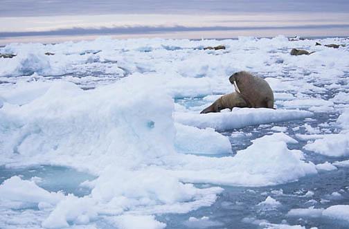 Walrus, (Odobenus rosmarus) Group resting on iceberg off Baffin Island. Canada.