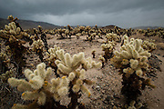 Cholla cactus in Joshua Tree National Park, near the geographical border of the Colorado and Mojave Desert, minutes before one of the biggest rainstorms to hit California fell on the park during the winter of 2014.