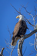An adult bald eagle perched in a locust tree in Brewster.