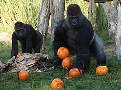 Kumbuka (right) the silverback gorilla holding pumpkins during a photo call ahead of Halloween, at London Zoo.