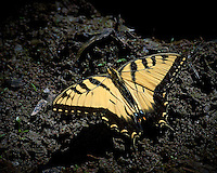 Yellow Swallowtail Butterfly Getting Some Sodium/Salt From the Mud Near a Pond at the Sourland Mountain Reserve in New Jersey.  Image taken with a Nikon D3s and 80-400 mm VR II lens (ISO 1000, 400 mm, f/11, 1/2000 sec). Raw image processed with Capture One Pro, Focus Magic, Nik Define, and Photoshop CC 2014.