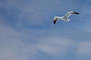 Kelp Gull, New Zealand