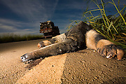 Luz_MG, Brasil...Tamandua Bandeira atropelado no acostamento da estrada em Luz, Minas Gerais...Tamandua Bandeira hit on the side of the road in Luz, Minas Gerais...Foto: LEO DRUMOND / NITRO