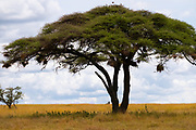 Acacia tree at Serengeti National Park, Tanzania