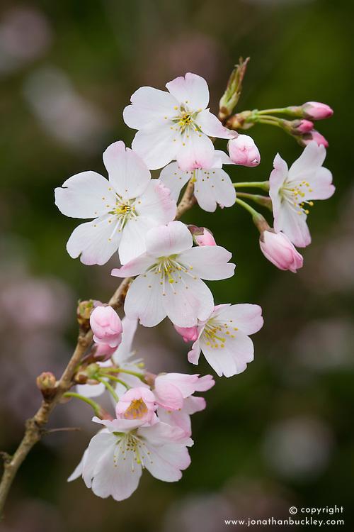 Prunus 'Pandora' in blossom. Flowering Cherry