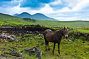 Connemara pony on hill slope, Connemara, County Galway, Ireland