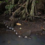 Malayan Krait (Bungarus candidus) in Kaeng Krachan district, Phetchaburi, Thailand