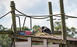 December 20, 2017 - Loxahatchee, Florida, U.S. - Dandy unwraps a frozen milk treat. Lion Country Safari's 16 chimpanzees were treated to gifts during the 33rd annual Christmas with the Chimps in Loxahatchee, Florida on December 20, 2017.  This years Christmas with the Chimps was dedicated to Little Mama the 79-year-old chimpanzee who passed away in November. The park's chimpanzees received gifts including edible treats, stuffed animals, clothes and enrichment-themed activities. ''Chimpanzees are extremely intelligent. They recognize that the gathering crowd of guests signals that Santa is on his way. They also read human emotions very well, and react to the excitement and anticipation of our guests. The whole day is really very enriching for them,'' says Primate Curator Tina Cloutier Barbour. Over the 33 years, it has developed into a community event and this year featured the Cypress Trails Elementary School's ''Singing Lions'' chorus. This is the only event where guests are permitted out of their vehicles. (Credit Image: © Allen Eyestone/The Palm Beach Post via ZUMA Wire)