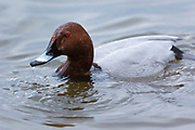Duck drinking among Common Pochard, Aythya ferina, ducks at Welney Wetland Centre, Norfolk, UK