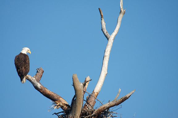 American bald eagle on tree branch by nest; Haliaeetus leucocephalus; bird; wildlife; Punta Gorda; FL; Florida