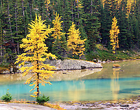 Autumn larches on the Opabin Plateau Yoho National Park British Columbia