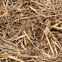 Asparagus plants growing in a straw mulch.