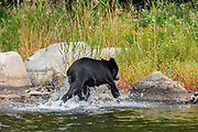 The American black bear (Ursus americanus) in the boreal forest<br />Lake of the Woods District<br />Ontario<br />Canada