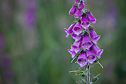 Foxglove flowers (Digitalis purpurea) a beautiful, invasive, poisonous wildflower - three different stages of flowering are present, buds opening, flowers open to allow fertilization by insects, and seed pods forming after the petals have fallen.
