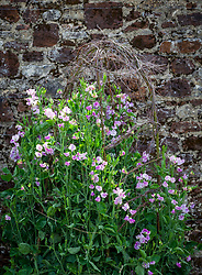 Lathyrus odoratus 'Lady Nicholson'. Sweet peas growing up a birch support in the trials bed at Parham House