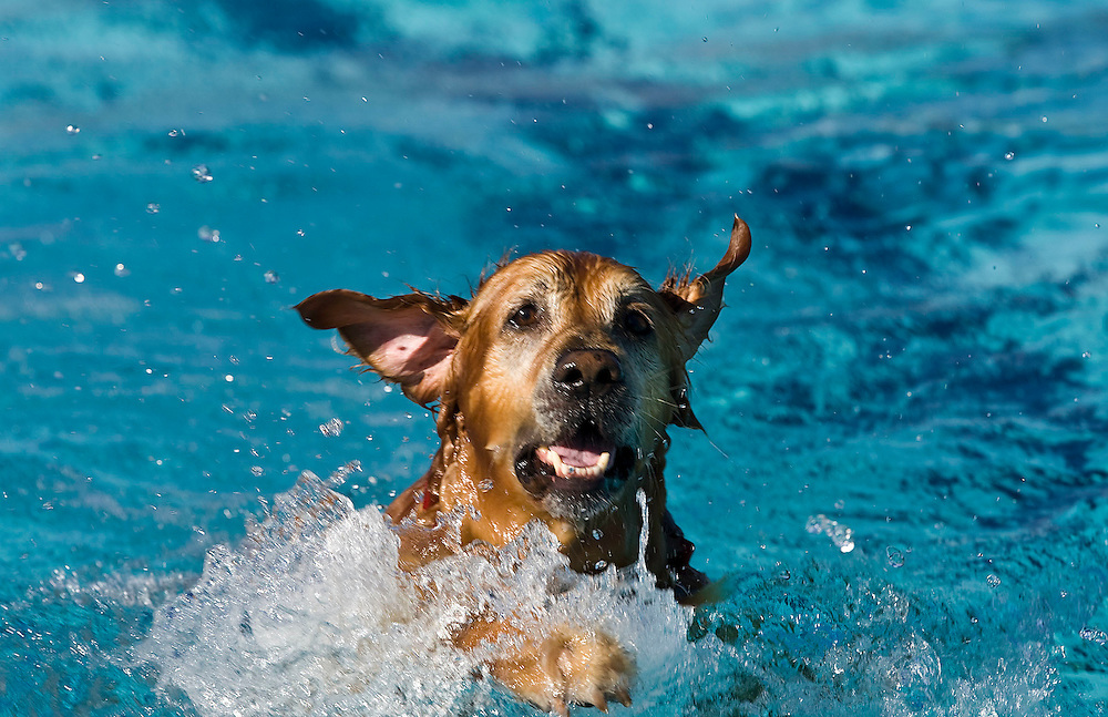 Maximus, a golden retriever owned by Elise and John Dinsenbacher of Draper enjoys a swim as dogs swim and play in the Draper pool as part of the fifth annual Salt Lake County Parks and Recreation Walk, Wag and Swim event. The pool is closed for the season, but not yet winterized allowing for the dogs to frolic and have fun in Draper, Utah Saturday, Sept. 12, 2009. August Miller, Deseret News .