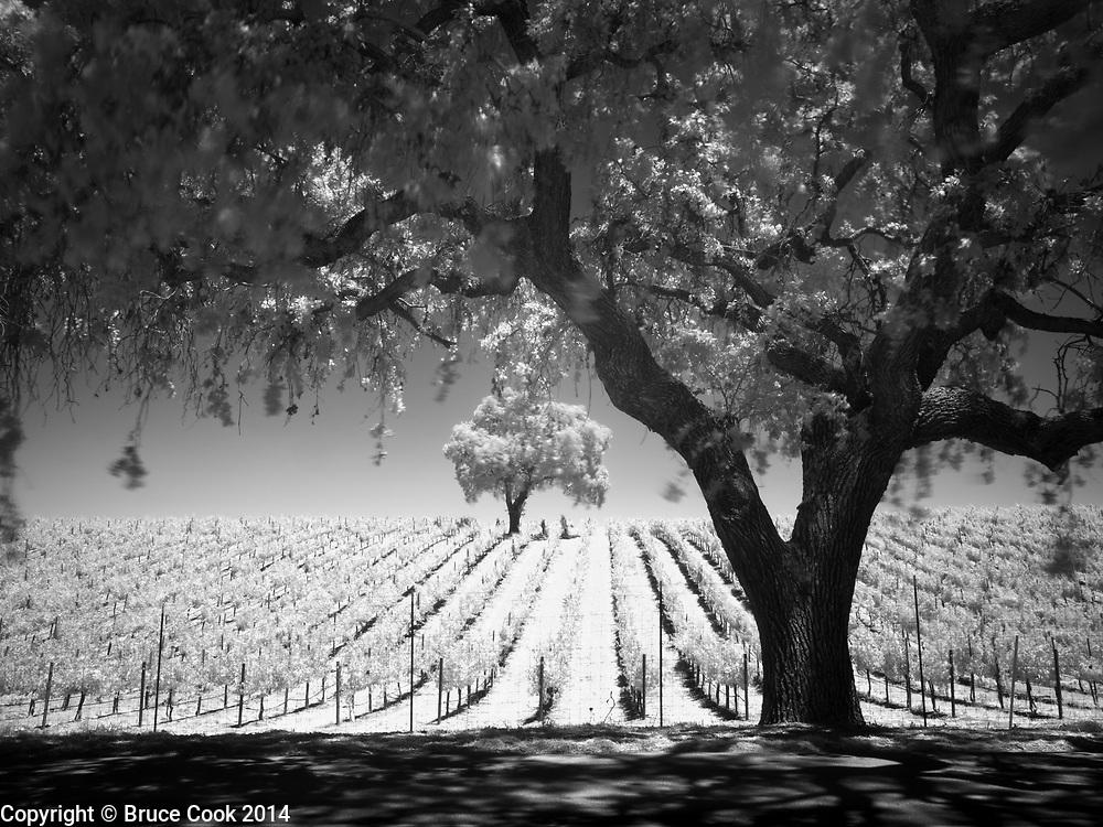 Vineyard Infrared