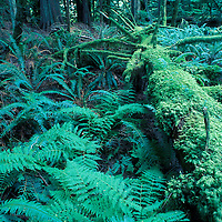Canada, British Columbia, Macmillan Provincial Park, Moss covers nurse log in Cathedral Grove in old growth coastal rainforest