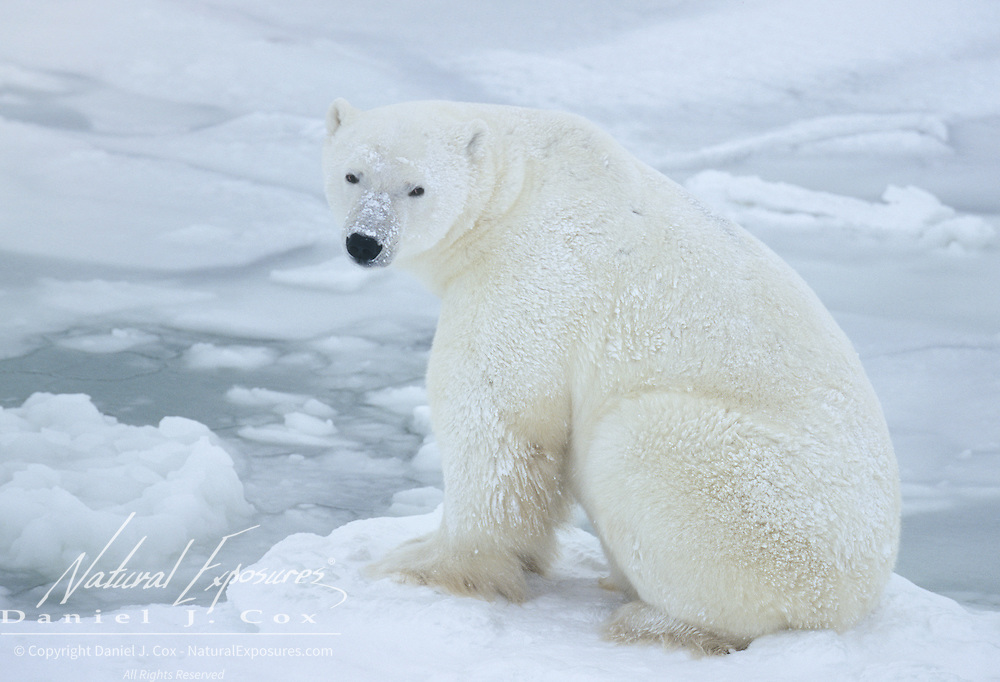 Polar Bear adult in Churchill, Manitoba, Canada.