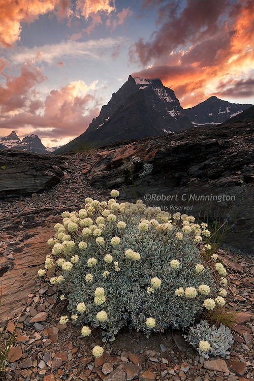 Wildflowers counterpoint a dramatic sky at Sun Point, Glacier National Park, Glacier National Park.