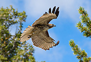 A small Red Tail hawk flies after being released at Hawkwatch International's Goshute mountain research station. This hawk and raptor banding project is at the largest raptor migration flyway west of the Mississippi in the Goshute mountains of eastern Nevada.