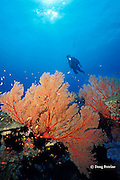 sea fans, Burma Banks, off Thailand, ( Andaman Sea, Indian Ocean ) MR 226