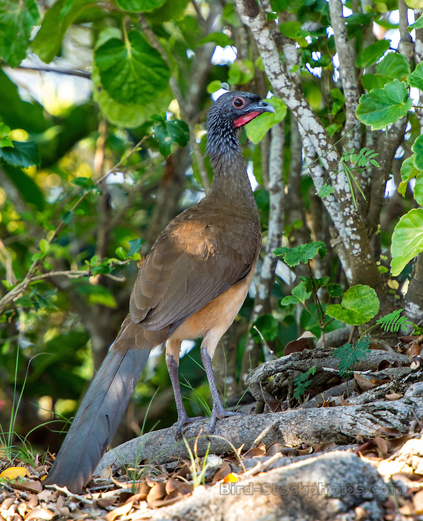 West Mexican Chachalaca, Ortalis poliocephala, Ixtapa, Mexico, by Owen Deutsch