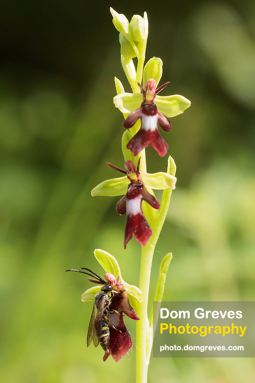 Male digger wasp (Argogorytes sp.) pseudocopulating with fly orchid (Ophrys insectifera). Surrey, UK.