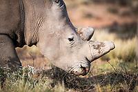 White Rhino, Mount Camdeboo, Eastern Cape, South Africa