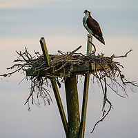 a Osprey protects the nest overlooking the Roanoke Sound Sound in the Corolla section of the Outer Banks, North Carolina, USA