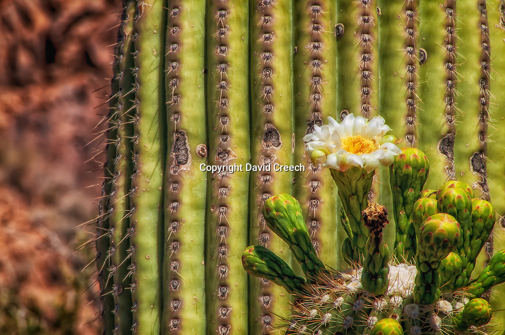 Saguaro Cactus (Carnegiea Gigantea) in Bloom.