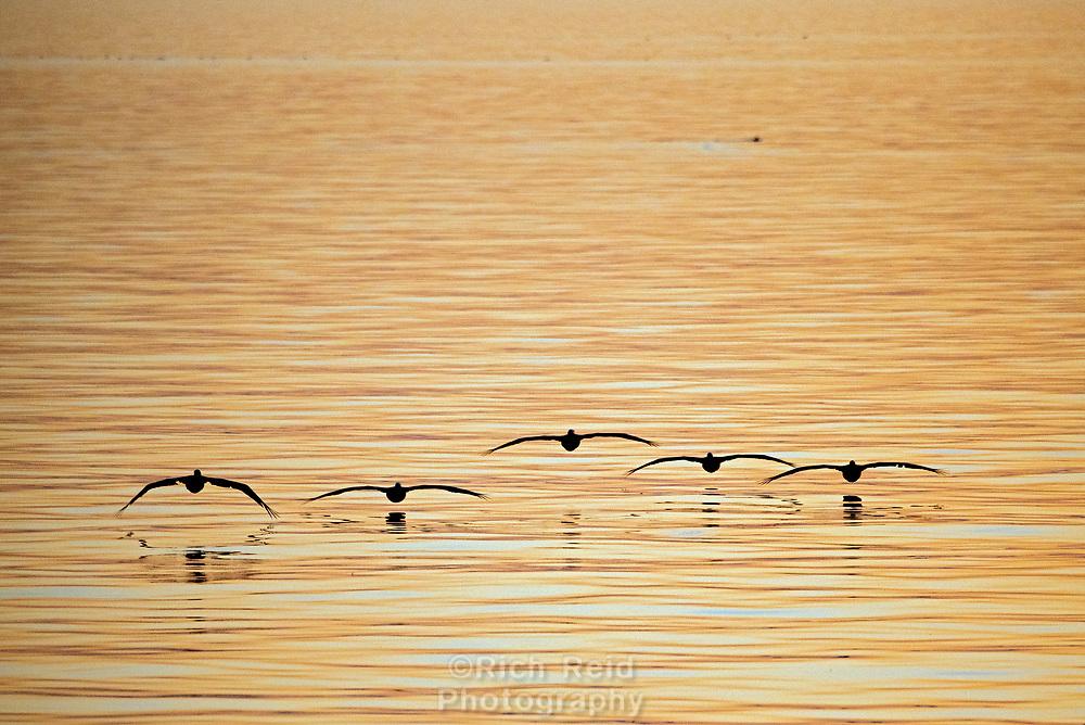 Train of brown pelicans near Isla Rasa in the Sea of Cortez, Baja California, Mexico.