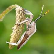 Coreidae sp. insect in Thailand's Khao Khieo-Khao Chompoo Wildlife Sanctuary area.