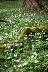 Anemone nemorosa in a woodland