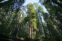 Looking up at trees in Redwoods National Park Northern California Coast USA.