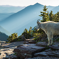 two mountain goats, billy on cliff