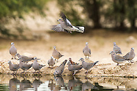 Cape Turtle Doves drinking from a waterhole at dawn , Kgalagadi Transfrontier Park, Northern Cape, South Africa