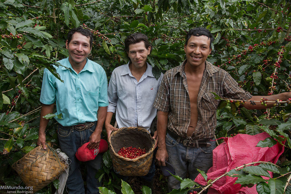 Orlando Hernandez Estrada (left), Rosalío Hernandez Estrada (middle), and Joaquin Hernandez Mendez, small-scale coffee-producers associated to APAC, pose for a photo during the harvesting of coffee cherries. APAC exports coffee certified by the Fairtrade Labelling Organization (FLO). Anizales 2, Pantasma, Jinotega, Nicaragua. January 21, 2014.
