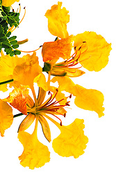 Royal Poinciana -yellow#41