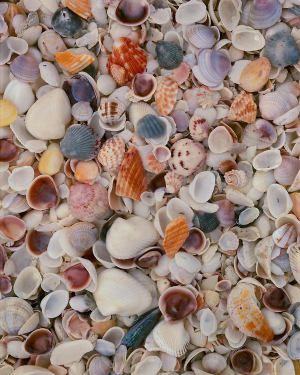 Shells, Bowman's Beach, Sanibel Island, Florida